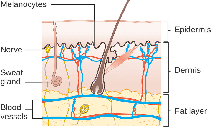 Structure of skin levels