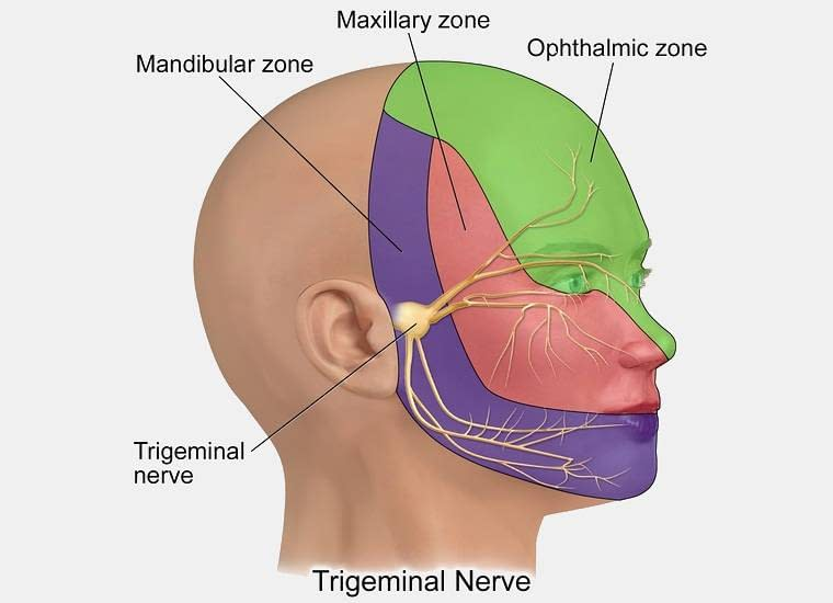 Where the trigeminal nerve is found